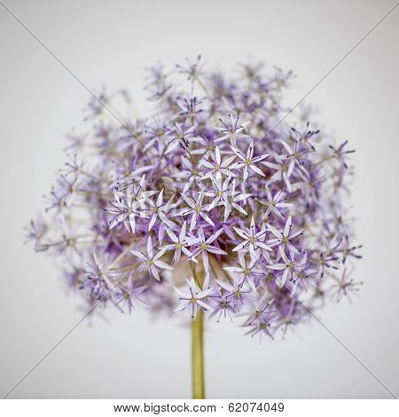 Pink and purple flowering onion flower head on white background