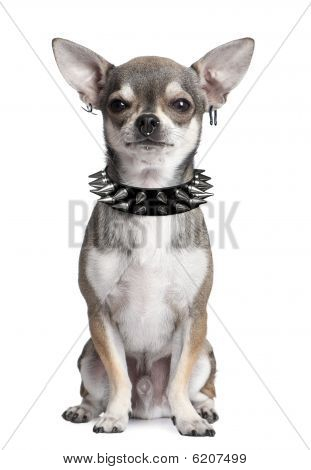 Chihuahua With Face Piercings Sitting In Front Of White Background