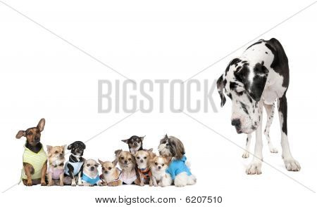 Large Dog Looking At Small Puppies In Front Of White Background