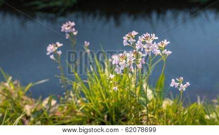Pale Pink Blooming Cuckoo Flower Plants