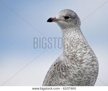 Ring-Bill Gull Fledgling Close up