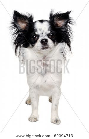 Chihuahua dog is standing. Isolated on a clean white background.