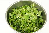 picture of cruciferous  - Close up of stainless steel bowl on white with small green watercress leaf vegetables used in salads and as a garnish for sandwiches because of it - JPG