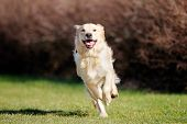 image of tongue  - Beautiful purebred dog running outside during summer time - JPG