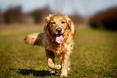 Purebred Dog Running Towards Camera poster