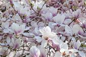 picture of saucer magnolia  - Deciduous Magnolia Tree with Saucer Tulip Shaped Flowers in Full Bloom During Spring - JPG