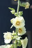 stock photo of hollyhock  - Alcea - JPG