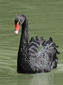 stock photo of black swan  - Black Swan swimming in its natural habitat - JPG