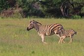 picture of mare foal  - Zebra (Burchell