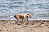 Small wet dog running along a sandy beach