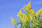 picture of ragweed  - Blooming goldenrod plant on blue sky background - JPG