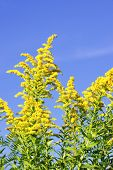 pic of ragweed  - Blooming goldenrod plant on blue sky background - JPG