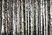 Aspen tree trunks in forest as natural background