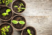 stock photo of plant pot  - Potted seedlings growing in biodegradable peat moss pots on wooden background with copy space - JPG