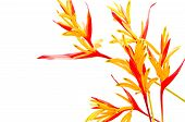 image of heliconia  - Red and orange Heliconia flower - JPG