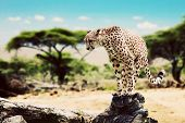 picture of wild adventure  - A wild cheetah about to attack - JPG