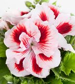 stock photo of geranium  - Flowers of a two - JPG