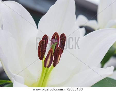 Stigma and anthers of a white lily
