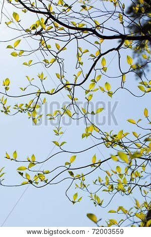 Branches and leaves of the dogwood