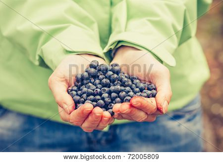 Blueberry Fresh Picked Organic Food In Woman Hands Giving Healthy Lifestyle Northern Forest Recreati