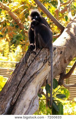 Dusky Leaf Monkeys - Semnopithecus Obscurus - In A Morton Bay Fig Tree