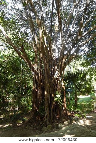 Banyan tree in a tropical resort garden