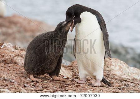 Adelie Penguin Chicks That Feeds Near The Nest