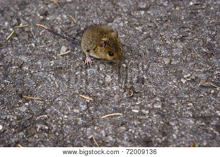 Mouse On Road