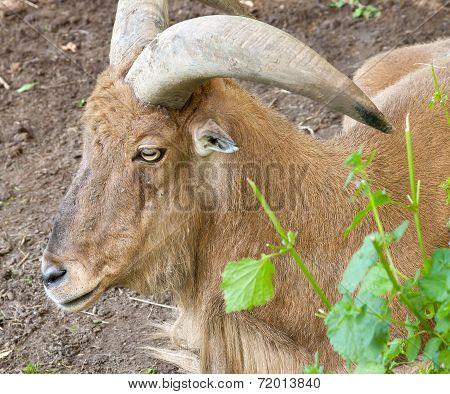 Alpine ibex goat