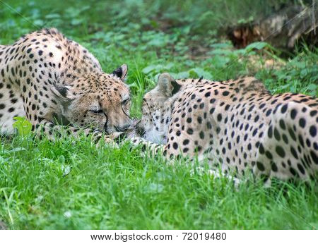 Two Cheetahs Fighting With Piece Of Meat Acinonyx Jubatus