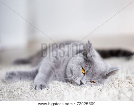 Grey Cat Laying On The Floor
