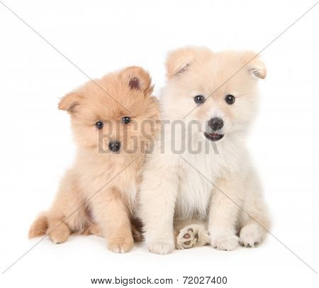 Pomeranian Puppies Cuddling Together on White Background
