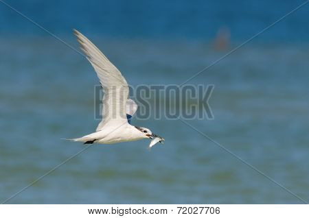 Sandwich Tern Feeding