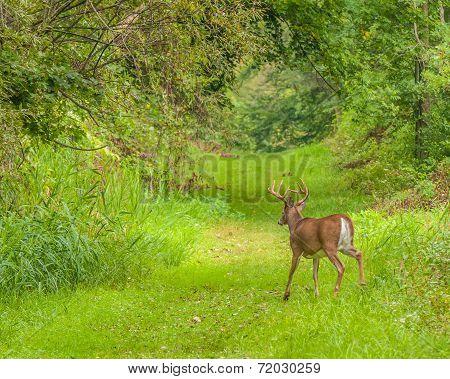 Whitetail Deer Buck