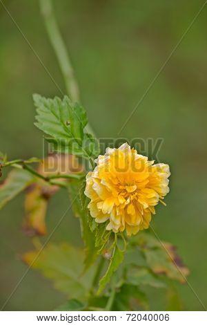 Yellow flowers Kerria