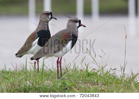 Southern Lapwing Pair Who Stand On The Green Lawn