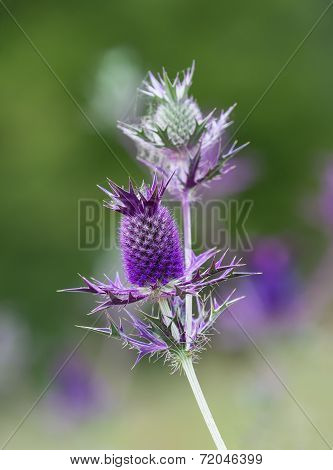Purple Blossom Of Eryngium Leavenworthii Wildflower