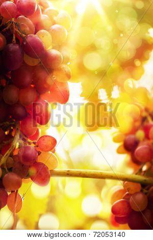 Art Ripe Grapes On A Vine With Bright Sun Background. Vineyard Harvest Season.