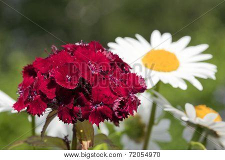 Red flower in a garden.