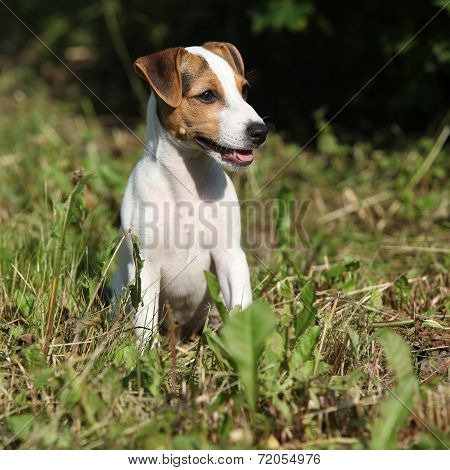 Gorgeous Jack Russell Terrier Sitting In The Garden