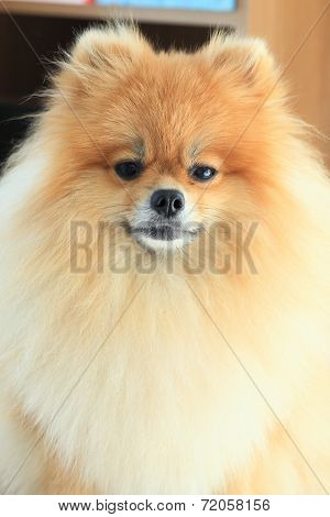 Closeup Fluffy Face Pomeranian Dog, Pet Grooming