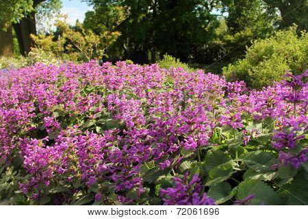 Lilac Flowers On The Bush