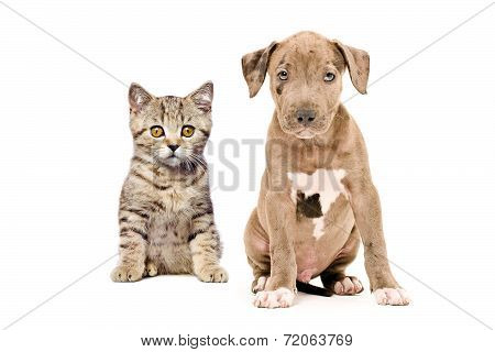 Scottish Straight kitten and pitbull puppy