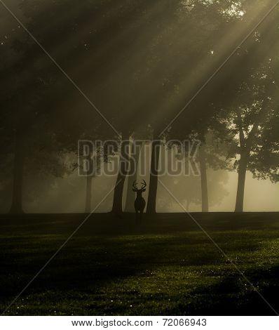 White-tailed Deer Buck On Foggy Morning