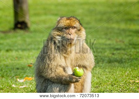 Barbary Macaque Eating An Apple  In Open Field
