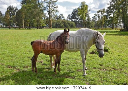 The horse with the foal. Riding school and breeding of thoroughbred horses. Green lawn for walking of Arabian horses