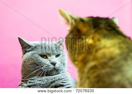 Two Angry Cats