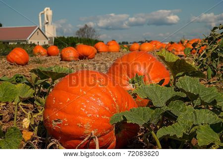 Pumpkin Field On Amish Farm