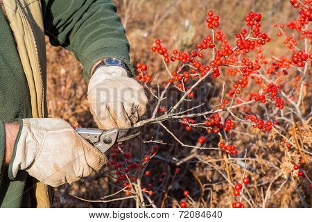 Ilex verticillata, the winterberry, is a species of holly native to eastern North America in the United States and southeast Canada. Harvesting branches for Christmas decorations.