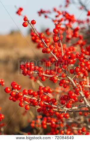 Ilex verticillata, the winterberry, is a species of holly native to eastern North America in the United States and southeast Canada,.
